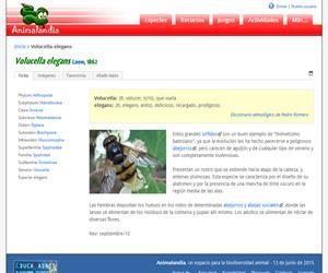 Volucella elegans (Volucella elegans)