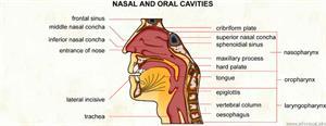 Nasal and oral cavities  (Visual Dictionary)