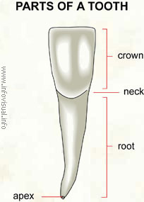 Parts of a tooth  (Visual Dictionary)