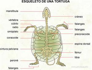 Esqueleto de una tortuga (Diccionario visual)