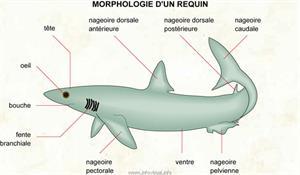 Requin (Dictionnaire Visuel)
