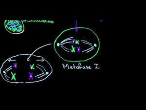 Fases de la meiosis (Khan Academy Español)