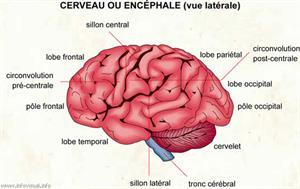 Cerveau (Dictionnaire Visuel)