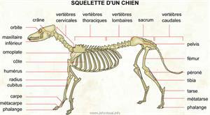 Squelette d'un chien (Dictionnaire Visuel)