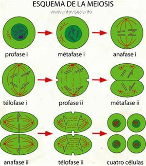 Meiosis (Diccionario visual)