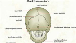 Crâne (vue postérieure) (Dictionnaire Visuel)
