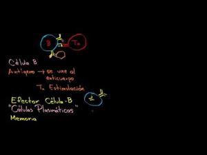 Repaso sobre los linfocitos b_ linfocitos t cd4+ y linfocitos t cd8+ (Khan Academy Español)