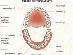 Arcade dentaire (Dictionnaire Visuel)