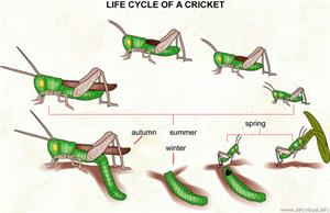 Life cycle of a cricket  (Visual Dictionary)
