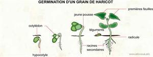 Germination d'un grain de haricot (Dictionnaire Visuel)