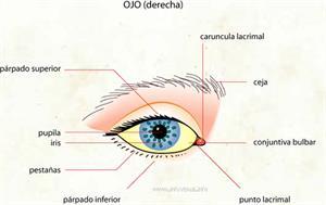 Ojo (Diccionario visual)