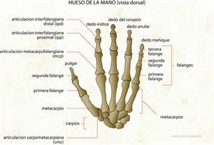 Hueso de la mano (Diccionario visual)