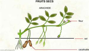 Arachide (Dictionnaire Visuel)