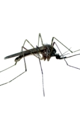 Effect of Food On Mosquito Growth