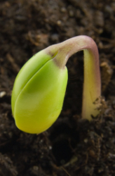 """Germination: """"The Birth of a Plant"""""""