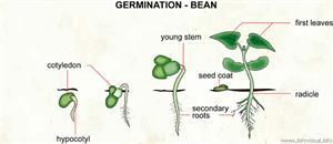 Germination - bean  (Visual Dictionary)