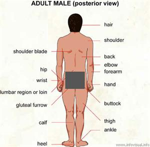 Adult male (posterior view)  (Visual Dictionary)