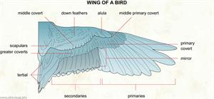 Wing of a bird  (Visual Dictionary)