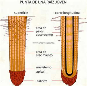 Punta de una raíz joven (Diccionario visual)