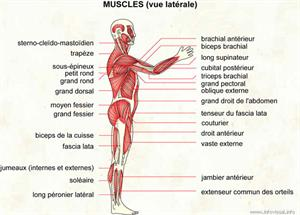 Muscles (vue latérale) (Dictionnaire Visuel)