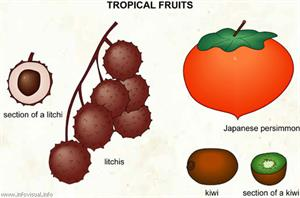 Tropical fruits (3)  (Visual Dictionary)