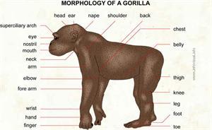 Gorilla  (Visual Dictionary)