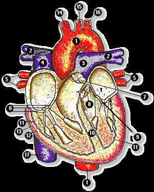 El aparato circulatorio (uc.cl)