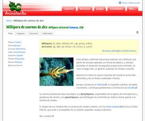 Millépora de cuernos de alce (Millepora alcicornis )