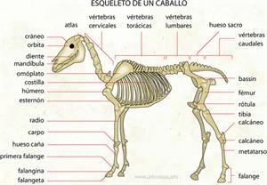 Esqueleto de un caballo (Diccionario visual)