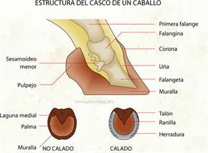 Estructura del casco de un caballo (Diccionario visual)
