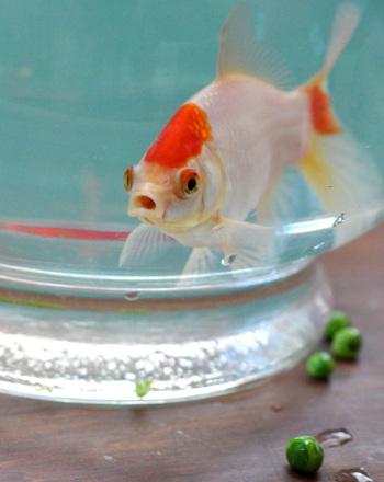 Do Crushed Peas Cure Swim Bladder's Disease in Goldfish?