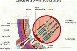 Estructuras de la parte posterior del ojo (Diccionario visual)