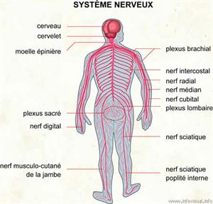 Système nerveux (Dictionnaire Visuel)