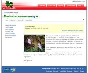 Planaria rosada (Prostheceraeus roseus)