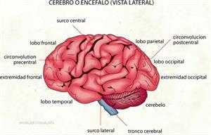 Cerebro (Diccionario visual)