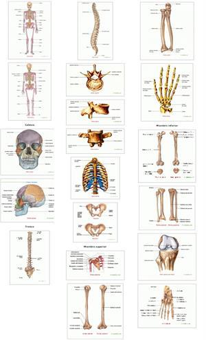 Esqueleto humano, cabeza, tronco y extremidades. Saludalia