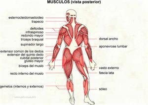 Musculos (vista posterior) (Diccionario visual)