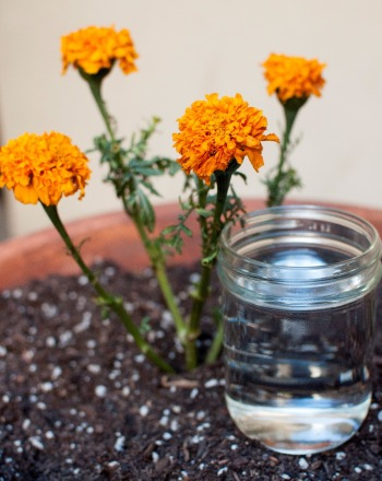 The Effect of Acid Rain on Marigold Plants