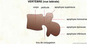 Vertèbre (vue latérale) (Dictionnaire Visuel)