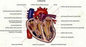 Corazón (Diccionario visual)