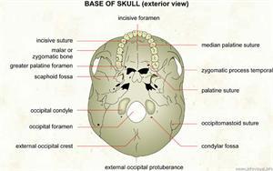 Base of skull (exterior view)  (Visual Dictionary)