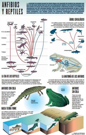 Anfibios y reptiles. El primer reptil marino anfibio. Infografía de elmundo.es