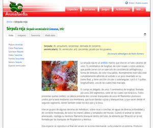 Sérpula roja (Serpula vermicularis)