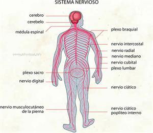 Sistema nervioso (Diccionario visual)