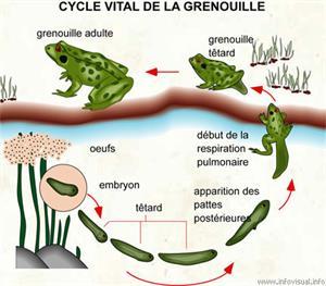 Cycle vital de la grenouille (Dictionnaire Visuel)