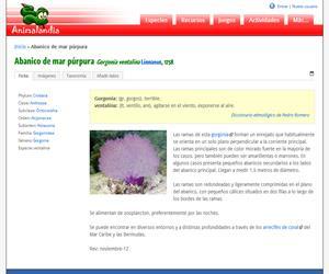 Abanico de mar púrpura (Gorgonia ventalina )