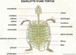 Squelette d'une tortue (Dictionnaire Visuel)