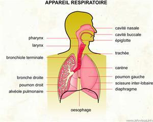 Appareil respiratoire (Dictionnaire Visuel)