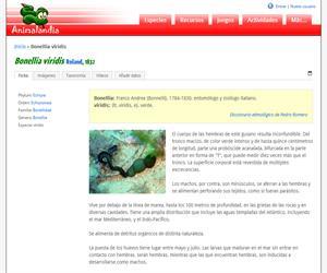 Bonellia viridis (Bonellia viridis)