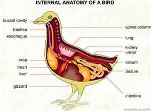 Anatomy  (Visual Dictionary)